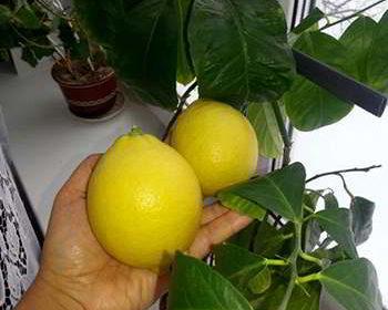 Лимон от мини дерева Экодар в руках